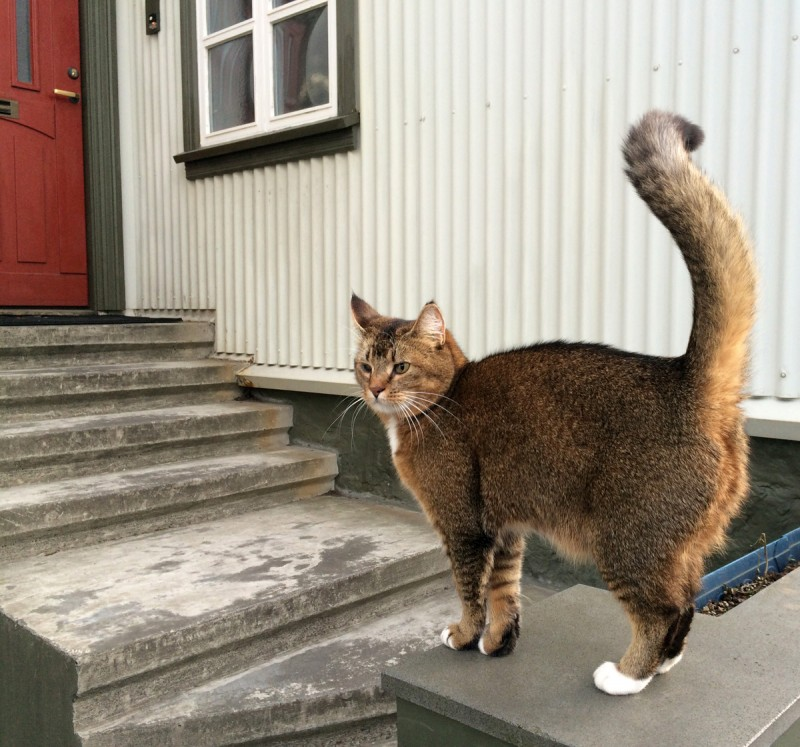 Icelandic kitty